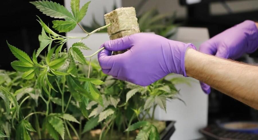 Alternativet vil give danskerne lov til at dyrke cannabis i små mængder selv. EPA/JOHN G. MABANGLO