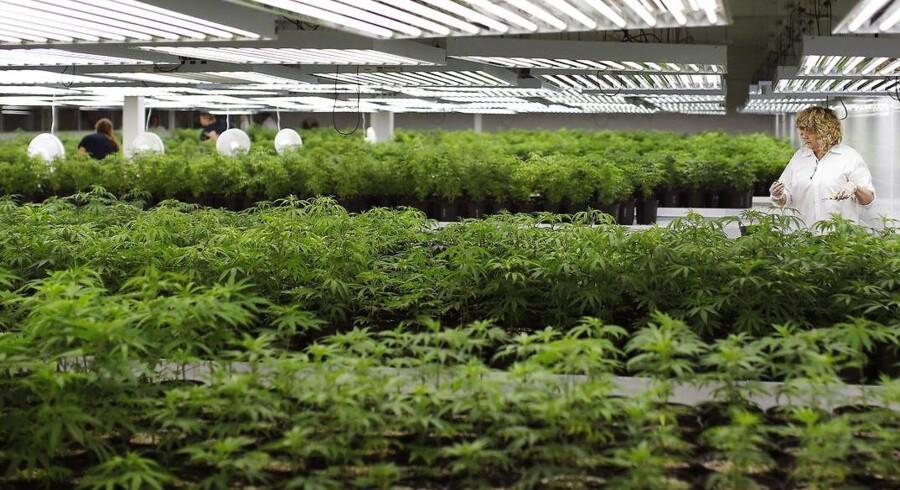 Flere danske virksomheder undersøger nu muligheden for at få en bid af kagen, i forbindelse med at legaliseringen af cannabis spreder sig over hele verden. Foto: Reuters, Blair Gable.