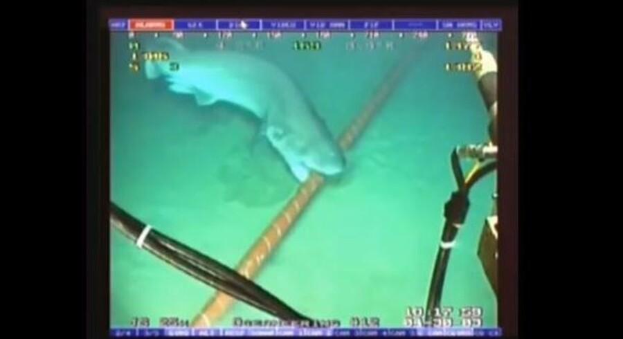 Hajer angriber indimellem de søkabler, som ligger oven på havbunden og bærer internettrafikken mellem kontinenterne. Her et hajangreb fra 2010, som vises på videonettjenesten YouTube. Foto: YouTube