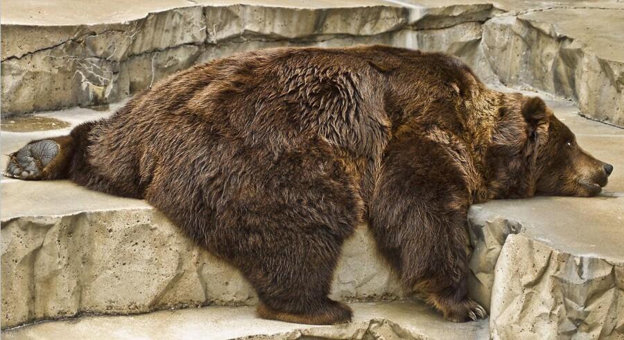 Træt og modløs? Gør som bjørnene og gå i hi. Det kræver bare, at du tager 30-40 procent på.