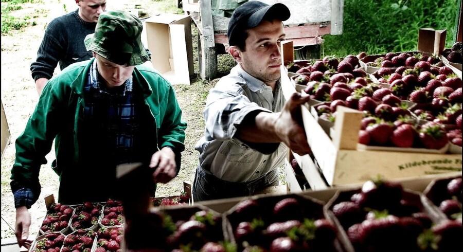 Kildebrønde Plantage - Polske arbejdere plukker hver sommer jordbær i plantagen. Virksomheder mener, at der er brug for langt mere udenlandsk arbejdskraft i Danmark..