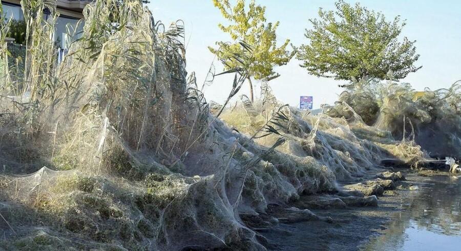 Den rette kombination af luftfugtighed, temperatur og masser af myg har fået de lokale edderkopper til at gå amok i en sand parringsfest i deres meganet.
