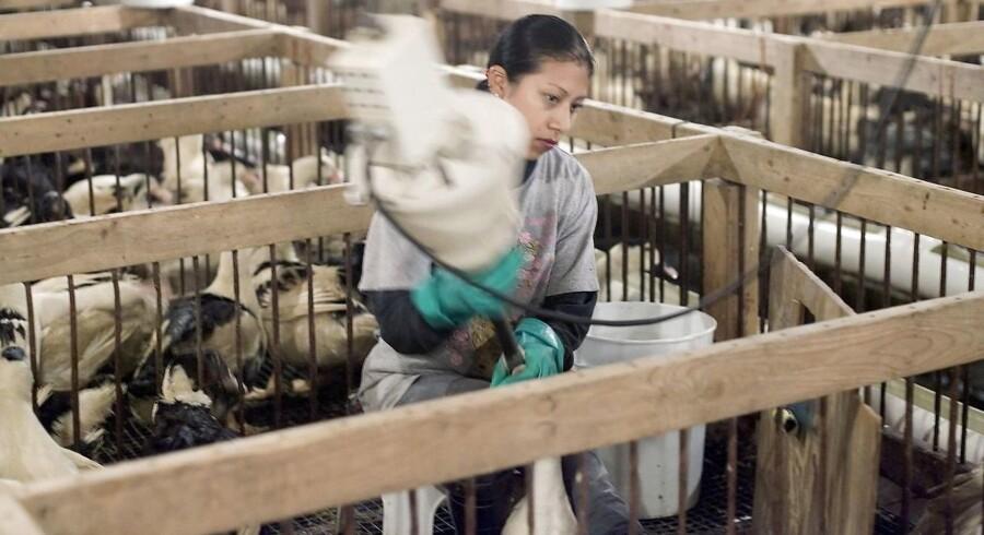 En ansat på Hudson Valley Foie Gras tvangsfodrer et af dyrene. foie-gras-produktion er et moralsk problem, mener Simon Gerlach.