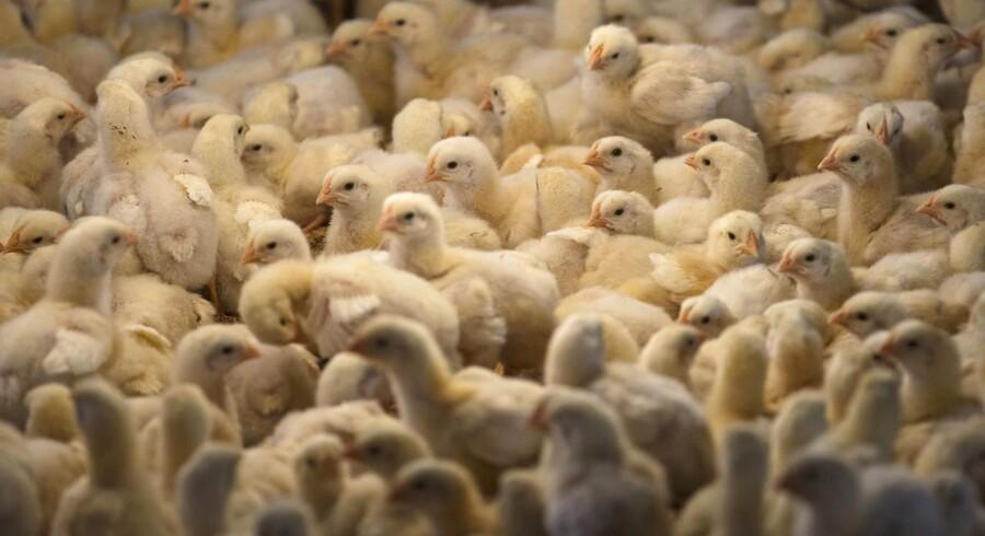 Kyllingen - eller hønen - er i dag verdens langt mest almindelige fugl, og det skyldes kun os: mennesket. I dag er der færre vilde fugle i naturen, end der er kyllinger og lignende i enorme produktionshaller på kloden