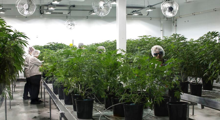 »Moderplanterne«, som Canopy Growth baserer sin produktion på. Før man går ind i drivhuset, skal man igennem en »luftbruser« og have kittel, maske, hårnet og handsker på. Økosystemet er skrøbeligt.