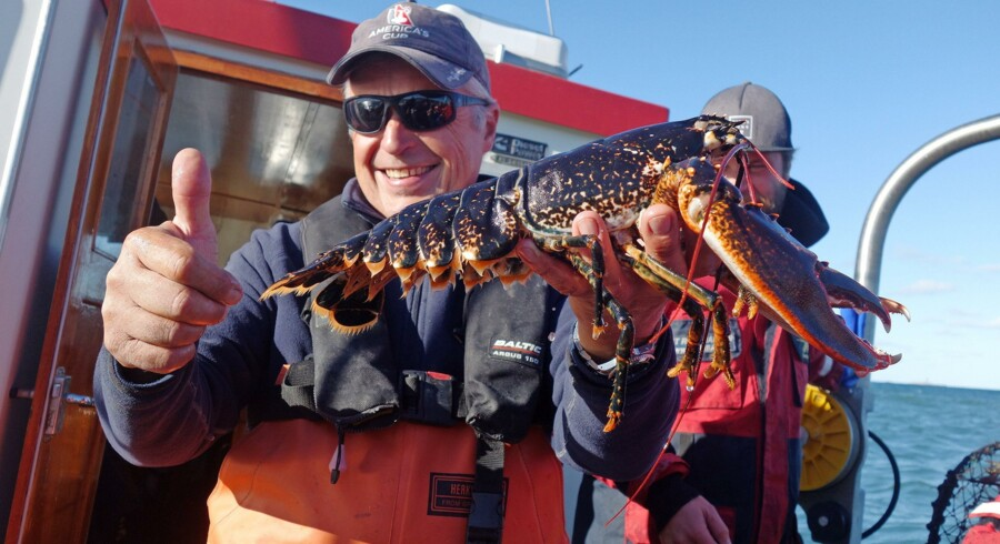 Sådan en stor krabat får lov til at komme i land på en hummersafari som den, skipper Janne Holberg sejler ud på hver dag i sæsonen, hvis vejret er godt. Fotos: Elsebeth Mouritzen
