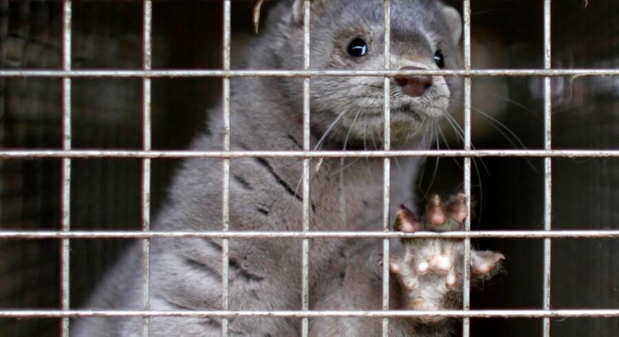 Arkivfoto: Minken har i årevis været et omdiskuteret dyr. Nu tager Vegan Activism Denmark tænkt sig at tage debatten igen. Derfor forsøger de at få en dialog med forretningerne. »Pels er ikke nødvendigt i 2018,« siger de.