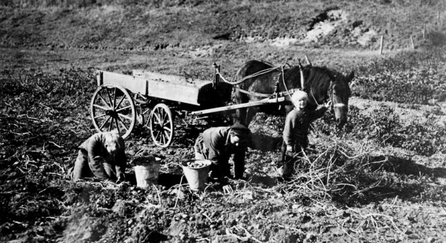 Børn hjælper til i marken i deres kartoffelferie.