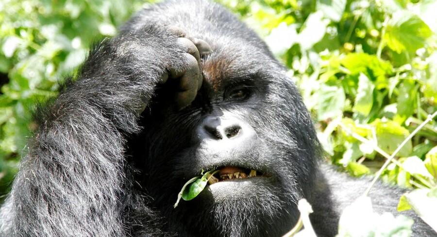 En bjerggorilla foreviget i Virunga-nationalparken ved Goma i det østlige DR Congo.