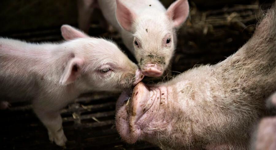 Med »Handlingsplan for svin« gør regeringen løbende mere for at løse dyrenes velfærdsproblemer. Herunder at reducere dødeligheden blandt pattegrise, skriver DFs dyrevelfærdsordfører, Karina Due.