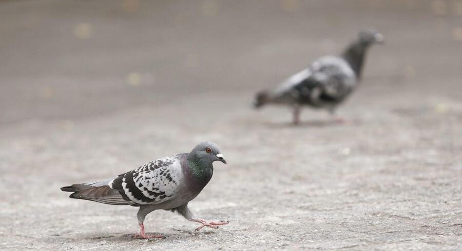 I Argentina har kriminelle ved flere lejligheder forsøgt at smugle stoffer ind i fængsler ved hjælp af duer.