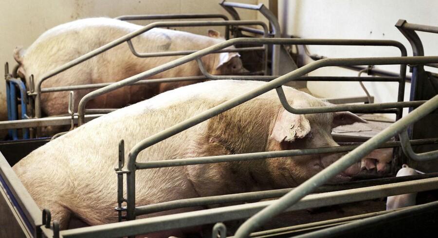 Kinesernes glubende appetit på svinekød har medført, at Danish Crown har sendt nakke-, forende-, bov- og brystprodukter med tusindvis af containere med fryseskibe til Kina. Arkivfoto.