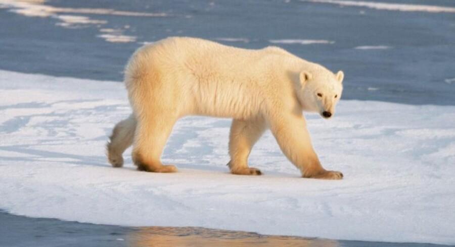Isbjørnene kommer tættere på beboede områder. Det koster dem ofte livet.
