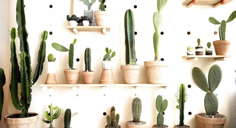 Kaktusser havde sin storhedstid i 70'erne og så igen i 2015.