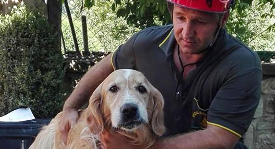 D. 2 september 2016 lykkedes det brandmænd at finde hunden Romeo i live mellem ruinerne fra det jordskælv, der for ni dage siden ramte det centrale Italien. EPA/ALESSANDRO DI MEO