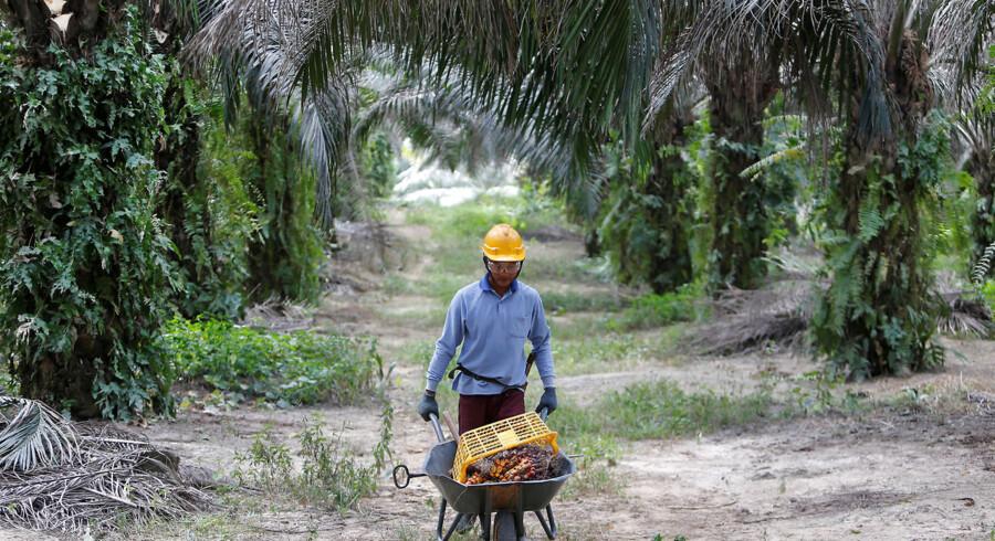 Uhæmmet palmeolieproduktion kan være med til at rydde regnskoven. Palsgaard bruger såkaldt segregeret palmeolie, hvor olien kan spores tilbage til oprindelsen for at sikre, at deres produktion ikke ødelægger regnskoven.