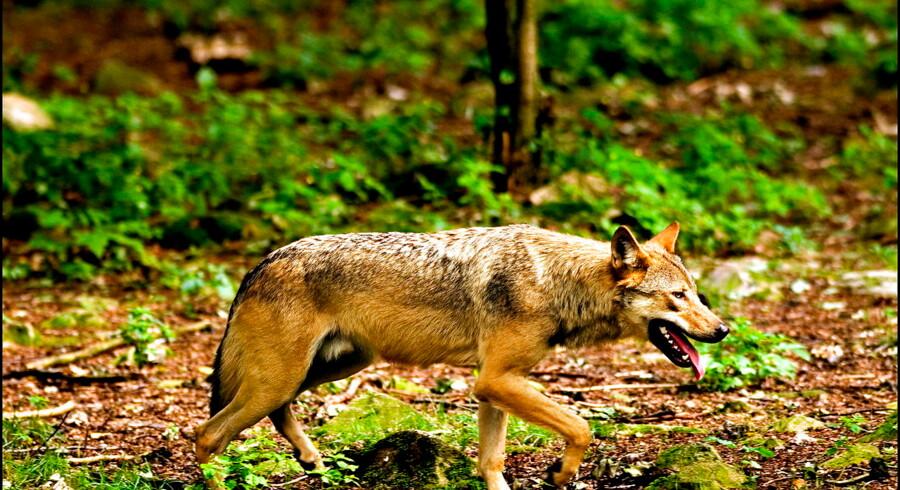 ) Foto fra 2006 af ulv i Skånes Dyrepark.