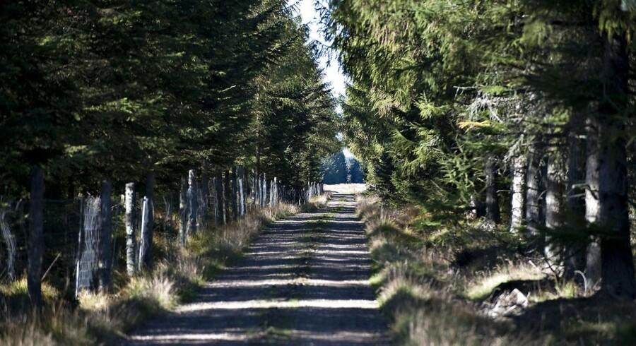 Tørken i fjor var særlig hård ved rødgran og bøg – Danmarks mest almindelige træarter. Her ses Klosterheden Plantage.