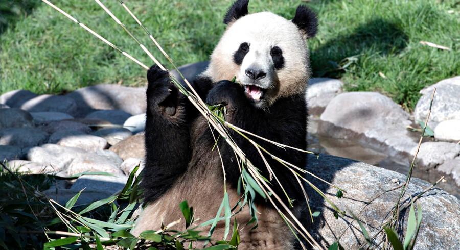 For de allermest nysgerrige åbner København Zoo kl. 10 torsdag, hvor pandaerne kan besøges. Her ses pandaen Xing Er.