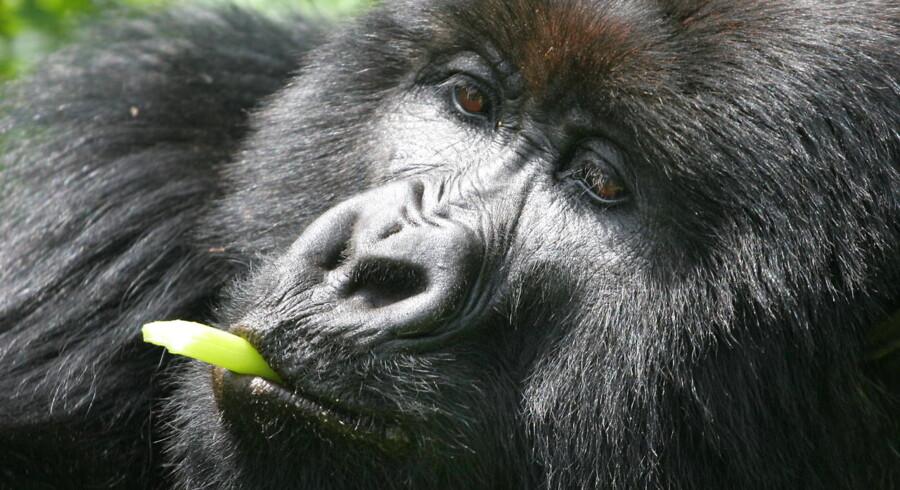 Forfatteren Merete Pryds Helle er draget til Uganda og Rwanda for at opfylde en gammel drøm om at se gorillaer. Hun er fascineret af dyret og af Dian Fossey, der var inspirationen til filmklassikeren »Gorillas in the Mist« med Sigourney Weaver.