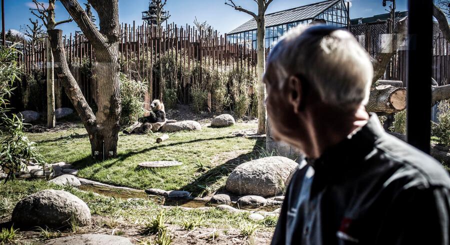 ZOO-direktør, Bengt Holst, foran pandaerne. Han nyder publikums begejstring, men synes, der bliver spundet for meget storpolitik på pandaerne. »Ingen har tvunget os. Det var os selv, det startede processen tilbage i 2010.«
