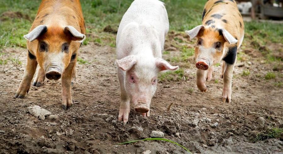 Foto af Brusgård. Øko Markeds grise.