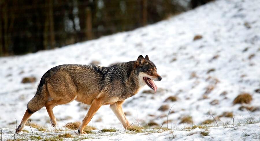 Danmarkshistoriens første sag om ulvedrab kommer for Vestre Landsret til september. Inden da skal der foretages yderligere genetiske undersøgelser af det dræbte dyr. (Arkivfoto). - Foto: Lars Rasborg/Ritzau Scanpix
