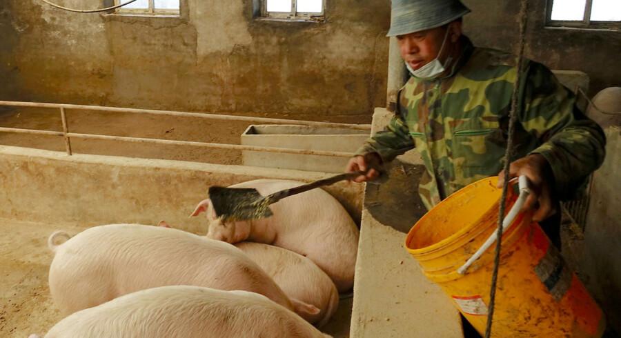 Afrikansk svinepest hærger lige nu Kinas svinefarme og vil angiveligt ryste de globale fødevaremarkeder. Arkivfoto: Ryan Woo/Reuters/Ritzau Scanpix