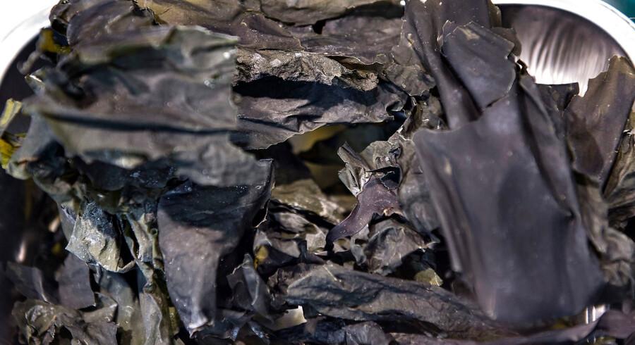 Danmark kan drage nytte af store havområder til at dyrke tang, lyder det i et af dagens læserbreve.