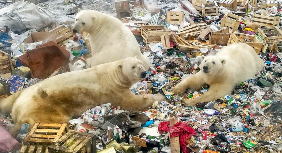 "A picture taken on October 31, 2018 shows polar bears feeding at a garbage dump near the village of Belushya Guba, on the remote Russian northern Novaya Zemlya archipelago, a tightly-controlled military area where a village declared a state of emergency in February after dozens of bears were seen entering homes and public buildings. - Scientists say conflicts with ice-dependent polar bears will increase in the future due to Arctic ice melting and a rise of human presence in the area as Moscow bolsters economic and military activity in the Arctic. An ""invasion"" of aggressive polar bears in inhabited areas of Arctic Russia occured for around ten days in February 2019 after the animals came to the area looking for food. Polar bears are affected by global warming with melting Arctic ice forcing them to spend more time on land where they compete for food. (Photo by Alexander GRIR / AFP)"