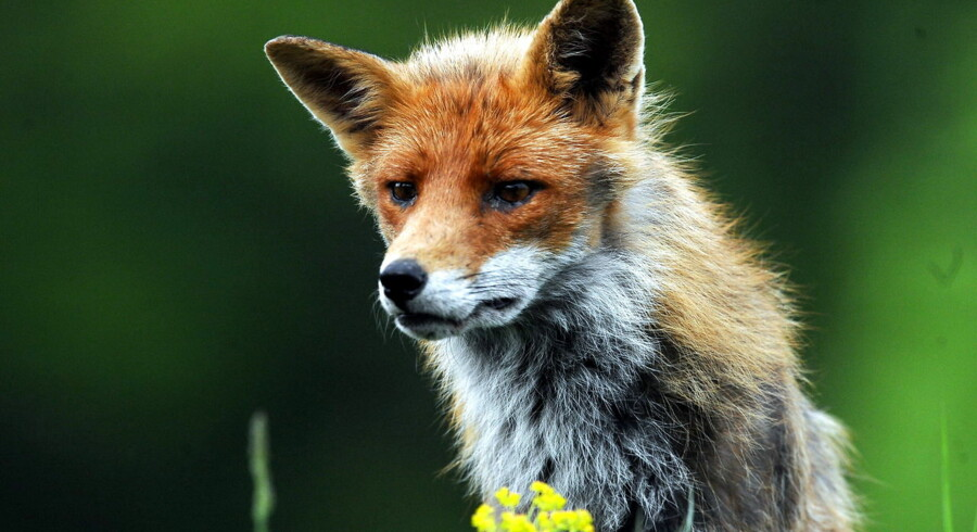 epa07560179 A red fox (Vulpes vulpes) pauses near Pomaz, 20 kms north of Budapest, Hungary, 30 April 2019, issued 10 May 2019. EPA/Attila Kovacs HUNGARY OUT
