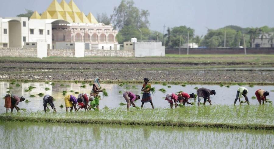 Husdyr og landbrug – som her risdyrkning i Indien – står bag næsten to tredjedele af alle udslip på kloden af den potente drivhusgas metan.