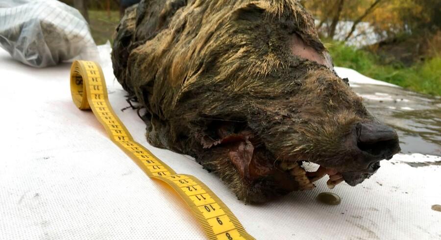 Et historisk fund af et hoved fra en ulv, der levede for 40.000 år siden har gjort forskerne ellevilde. De undersøger nu, hvordan den gamle ulveart er forbundet med de ulve, vi har i dag.