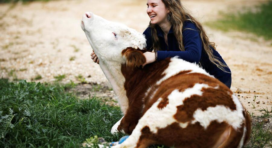 Hvis man skal kramme en ko, er det ikke ligegyldigt, hvordan man nærmer sig den, og man kan ikke være sikker på, at den gider lægge sig ned. Arkivfoto: Nir Elias/Reuters/Ritzau Scanpix