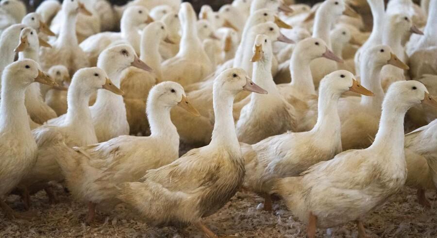 Ænder til foie gras-produktion, her i Hudson Valley DON EMMERT / AFP
