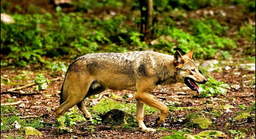(ARKIV) Sidste år skete der en massiv forøgelse af ulvebestanden i Danmark, da de to første ulve ynglede med otte unger til resultat. (Foto: Morten Juhl/Scanpix 2017)