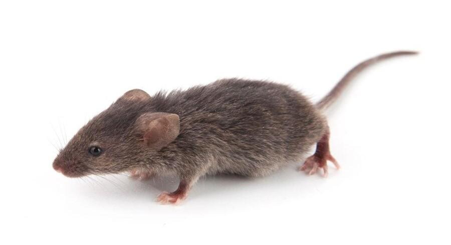 Et forsøg med mus har givet danske forskere ny viden om årsagerne til skizofreni. Det nye studie øger håbet om at finde en kur mod den psykiske lidelse. Free/Colourbox