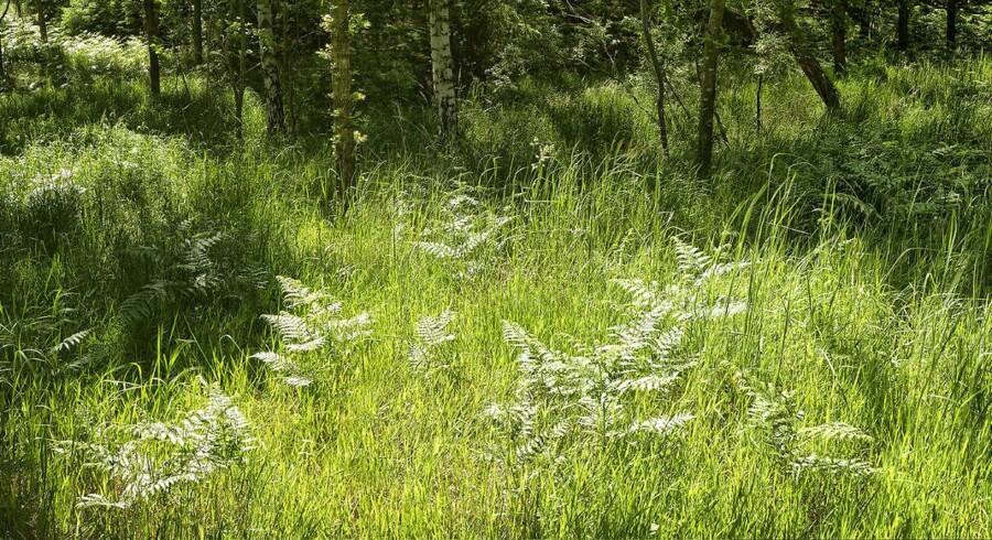 Danske forskere har fundet metode til at udvinde protein fra græs. Det kan bidrage til at mætte klodens voksende befolkning.