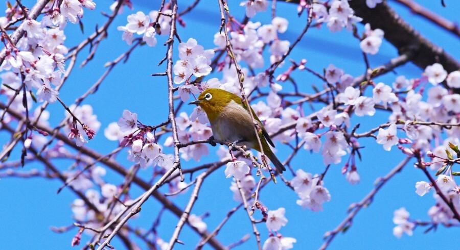 En lille fugl har fundet plads mellem kirsebærtræets karakteristiske blomster.