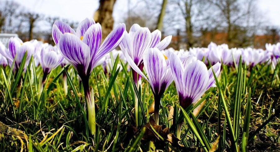 Med foråret kommer krokus til syne i haver og parker sammen med vintergækker og påskeliljer.