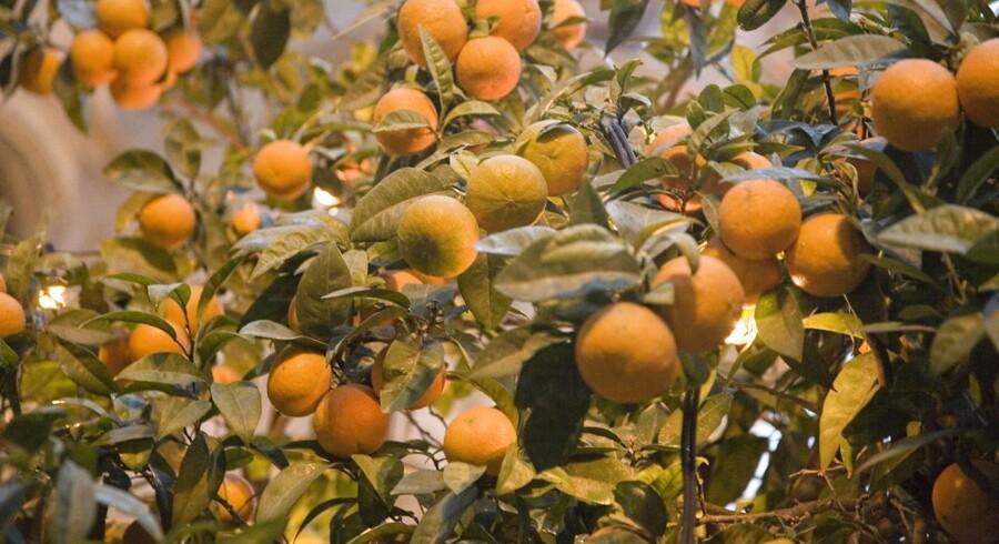Prisen på appelsiner, der primært importeres fra Brasilien, er steget 55 procent de seneste fire år, og det kan mærkes på bundlinjen hos Rynkeby.