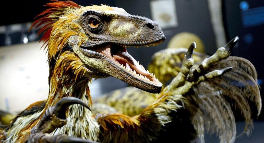 Arkivfoto. En model af den kødædende Deinonychus på naturhistoriskmuseum i Münster, Tyskland.