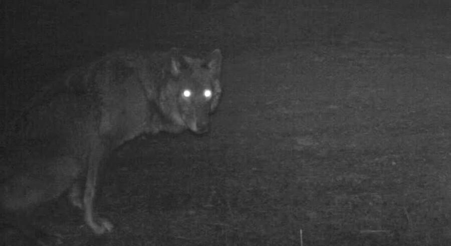 (ARKIV) Det lykkedes ikke på Vildtforvaltningsrådets ekstraordinære møde tirsdag at blive enige om en ny ulveforvaltningsplan. Men der er enighed om brug af vogterdyr og flere penge til ulvehegn og ulveramte fåreavlere. Det skriver Ritzau, tirsdag den 3. juli 2018.. (Foto: HANDOUT/Ritzau Scanpix)