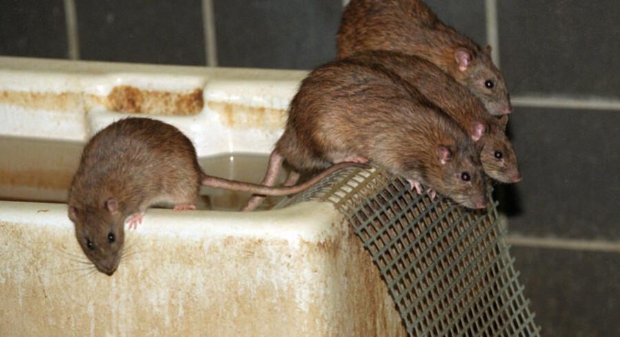 Mange stikledninger - altså kloakledninger ud til hovedledningen - er ifølge rottebekæmper Peter Weile i utrolig dårlig forfatning på grund af tæring fra tidens tand og rotter. (Arkivfoto) Linda Kastrup/Ritzau Scanpix