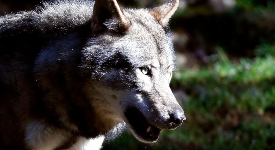 En mand fra Hjelmrode i Sønderjylland troede i september, han var blevet bidt af en ulv. Det viste sig at være en hund. (Arkivfoto) - Foto: Valery Hache/Ritzau Scanpix