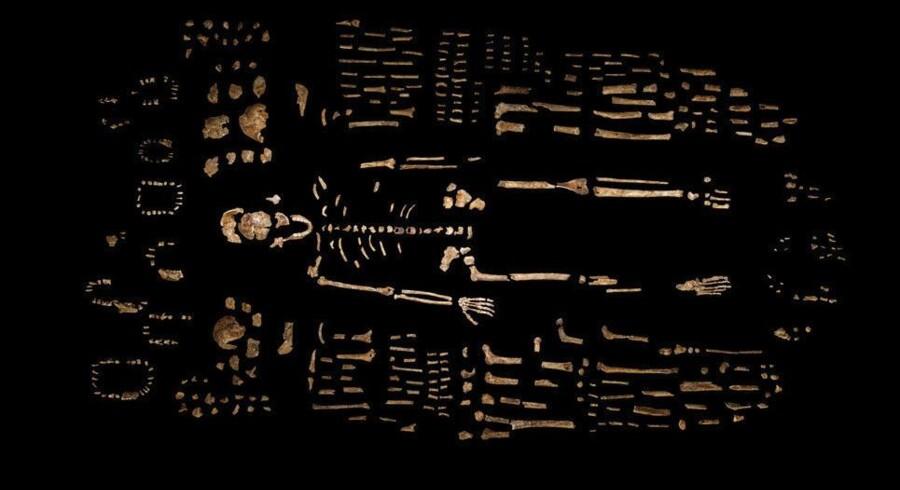 Med det store fund af Homo naledi-knogler i et sydafrikansk hulesystem peger lederen af holdet bag fundet på, at man kan have fundet arten, der danner bindeled mellem opretgående arter og menneskelignede arter. Foto: National Geographic / Handout