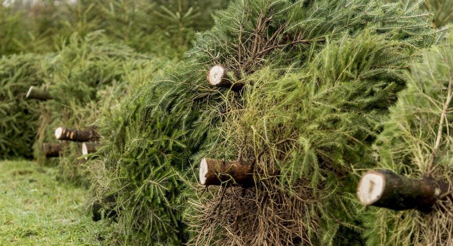 Det kan lade sig gøre at købe et økologisk juletræ, men hvad er forskellen egentligt på dyrkningen i forhold til de konventionelle?
