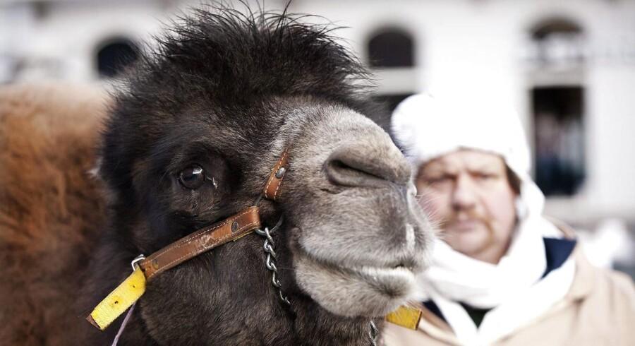 Kamelkalven vejede 30 kilo. Se Givskud Zoos video med den nyfødte herunder.