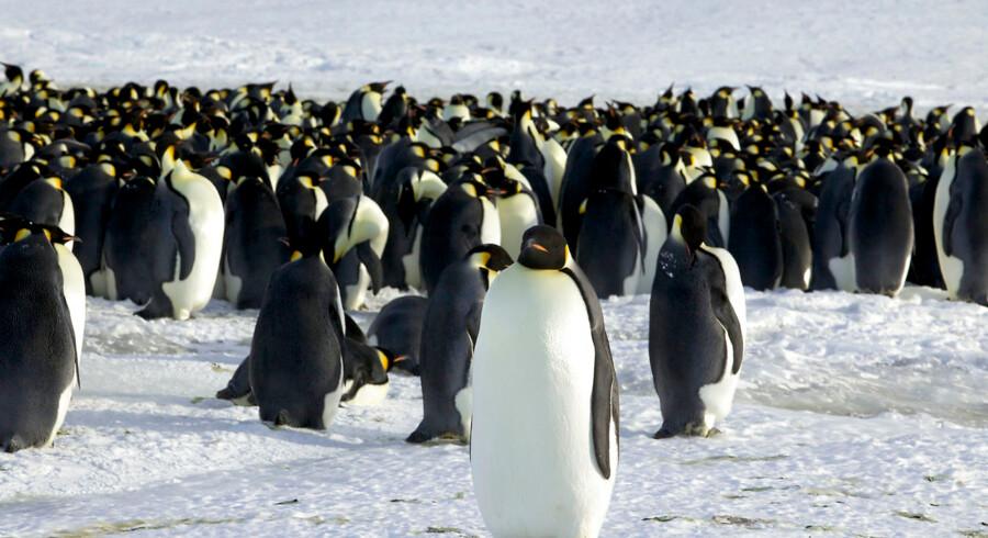 ARKIVFOTO af pingviner i Dumont d'Urville, Antarktis.