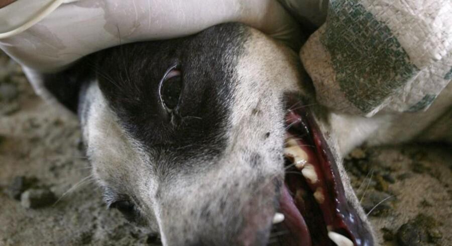 ARKIVFOTO. Pas på med at klappe de vilde dyr på ferien - rabies er ikke rar. Her gør myndighederne i Indonesien klar til at aflive en hund med rabies på Java.
